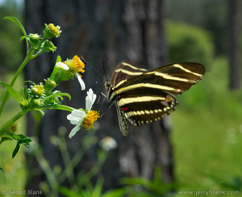 #69358 - A zebra longwing butterfly (Heliconius charithonia), visiting butterfly needle flowers (Bidens alba) in the woodlands of central Florida - photo by Jerry Blank