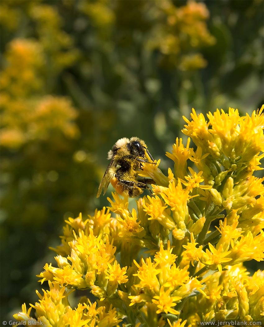#02048 - A bumblebee visits a goldenrod patch at the end of summer, near Williston, North Dakota - photo by Jerry Blank