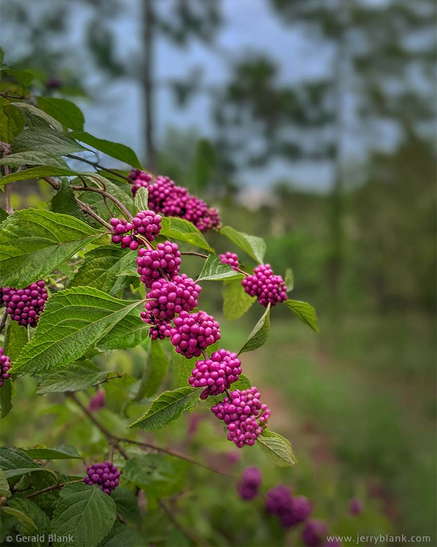 #70075 - American beautyberries (Callicarpa americana) in the Hills of Minneola, Lake County, Florida - photo by Jerry Blank